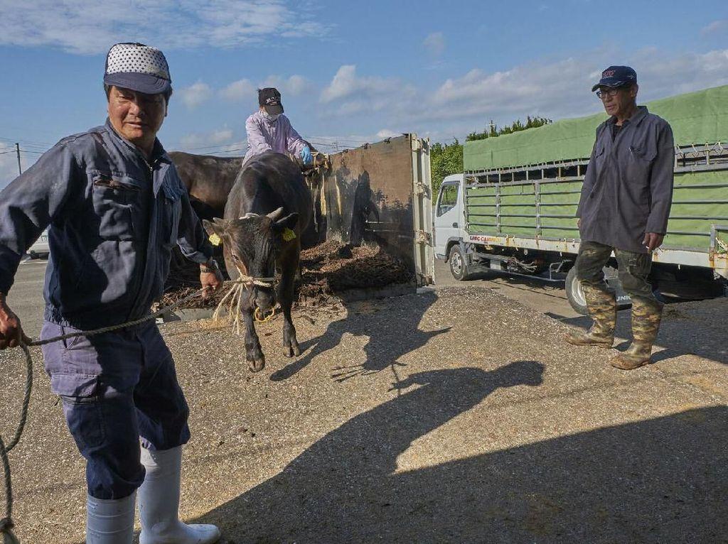 Melihat Proses Pembuatan Daging Sapi Kobe yang Paling Mahal di Dunia