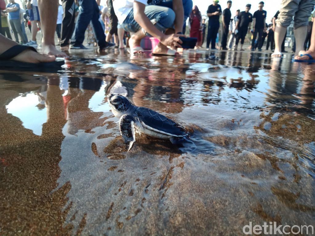 Puluhan Tukik Lucu Dilepas ke Laut Pangandaran