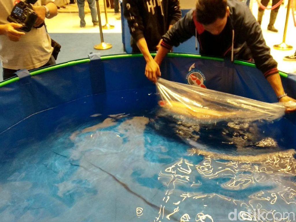 Susi Didesak Batasi Impor Ikan Koi Reject