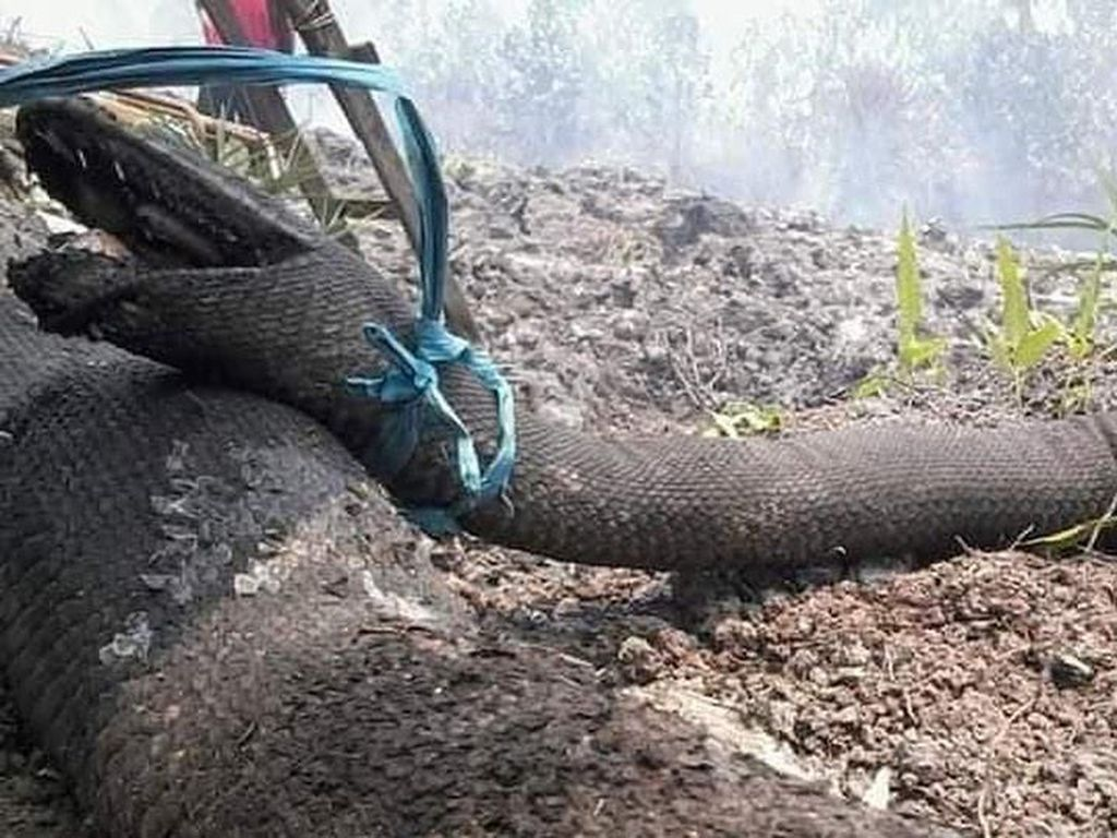 Raja Piton Hutan Kalimantan & Daftar Ular Terbesar di Dunia
