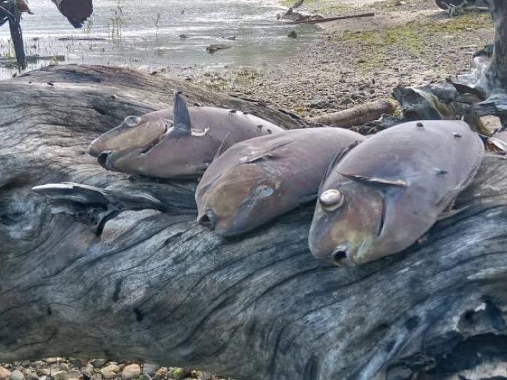 Ikan Mati Massal di Pantai Ambon, BMKG Tepis Isu Liar Pertanda Tsunami