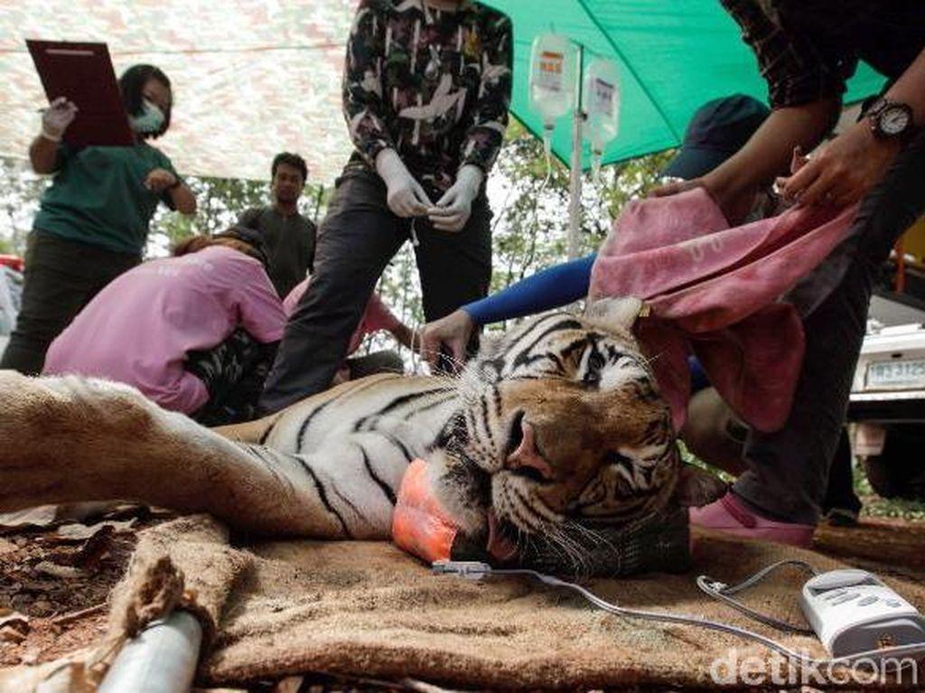 Lebih dari 75 Harimau Mati Setelah Diselamatkan dari Kuil