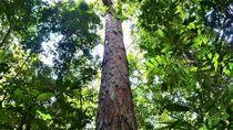 Peneliti Temukan Pohon Tertinggi di Amazon