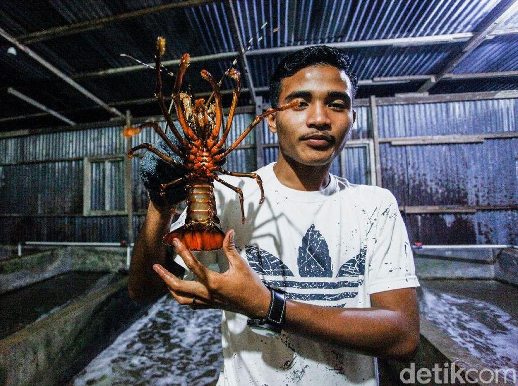 Wajib Coba Lobster di Sinabang