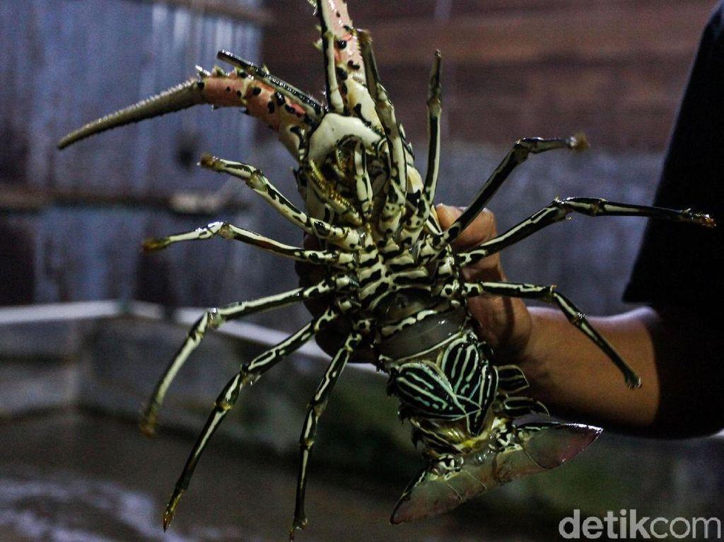 Melihat Lagi Alasan Susi Larang Ekspor Benih Lobster