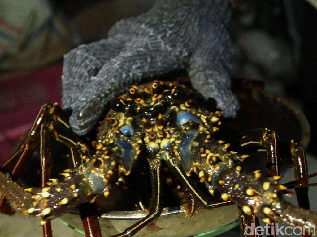 Larang Ekspor Benih Lobster, Dulu Susi Sudah Punya Alternatifnya