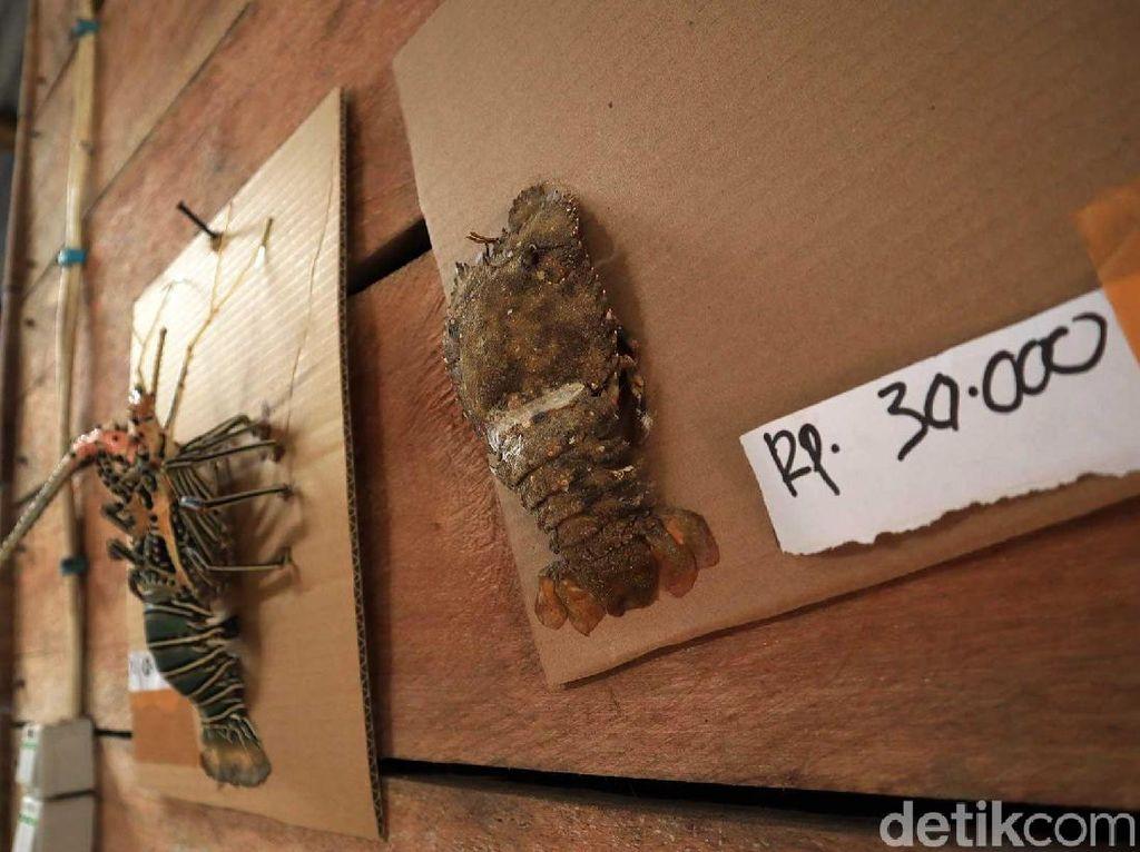 Tantangan Pedagang Menjual Lobster ke Luar Simeulue