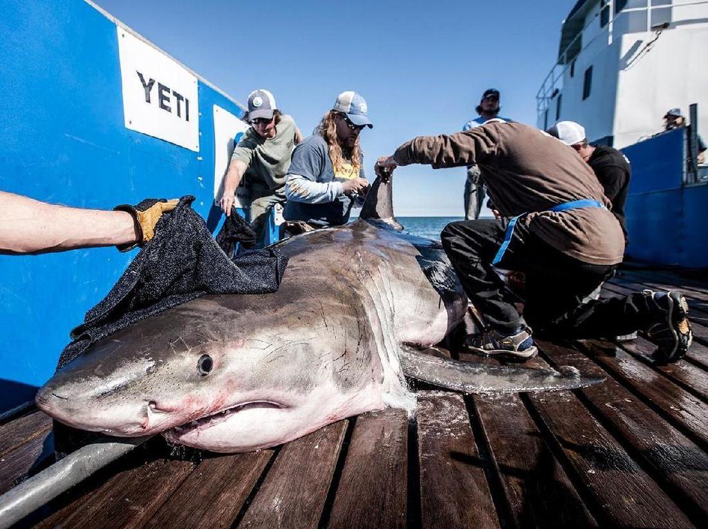 Proses Perburuan Sirip Hiu, Salah Satu Makanan Paling Kontroversial di Dunia
