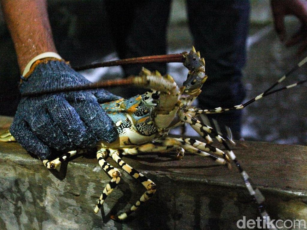 Icip Budi Daya Lobster Yuk! Modal Rp 1 Juta Bisa Dapat Puluhan Juta