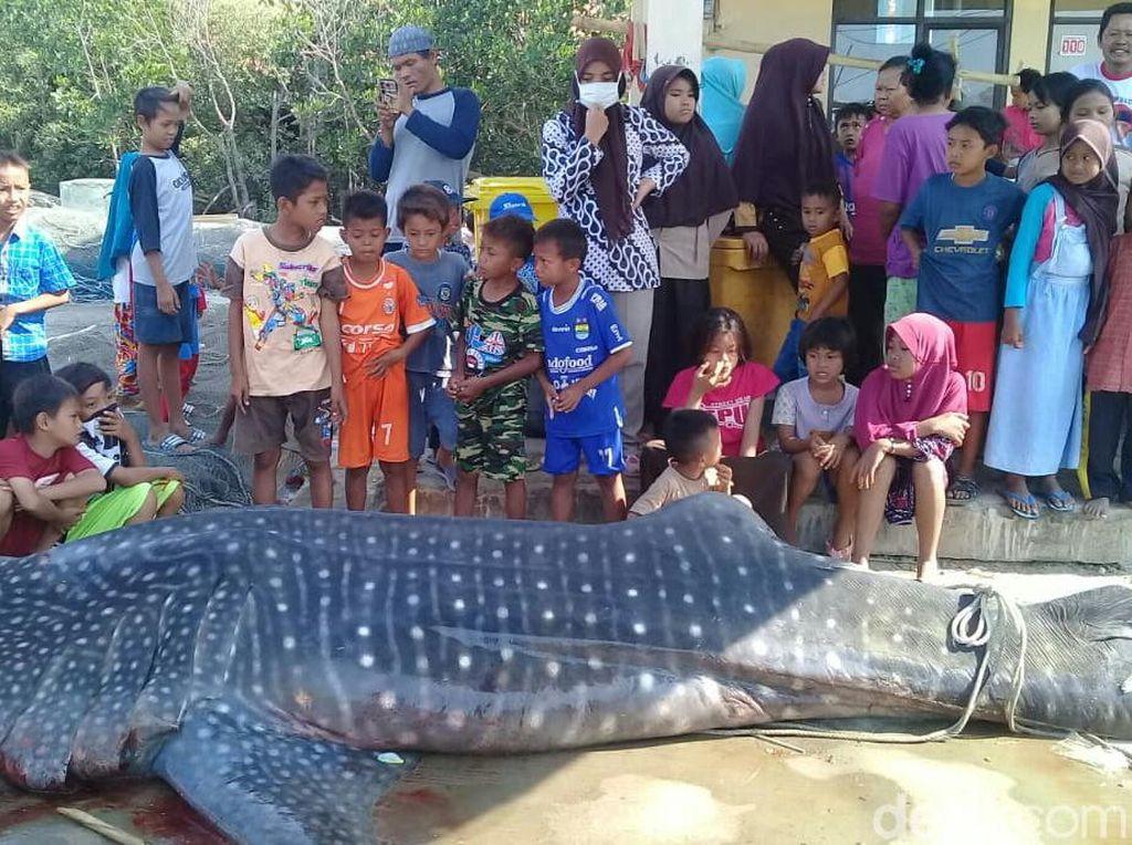 Nelayan Temukan Hiu Mati di Perairan Cirebon