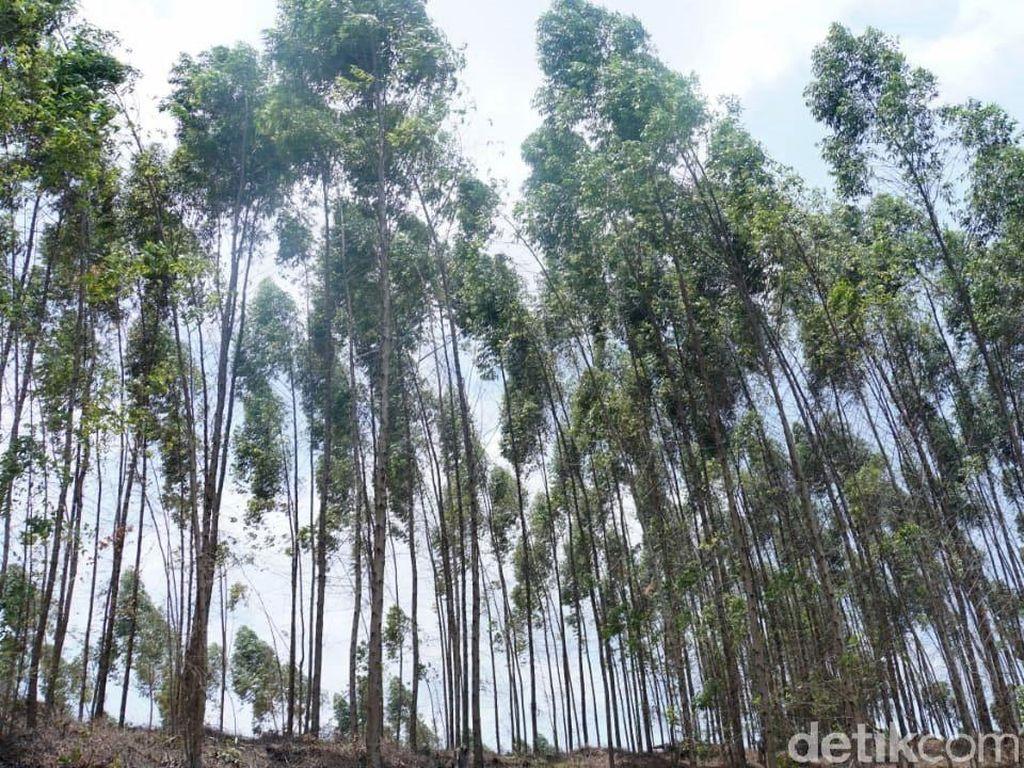 Ada Pohon di Lahan Konsesi Tanoto, Bakal Diganti Rugi?