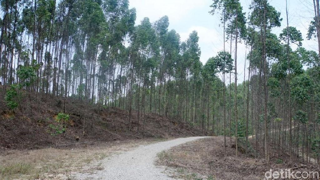 Ini Hutan Industri yang Bakal Jadi Lokasi Ibu Kota RI