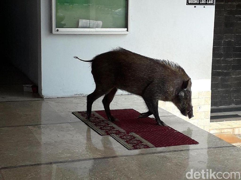 Heboh Babi Hutan Masuk Masjid di Serang Saat Ibu-ibu Lagi Pengajian