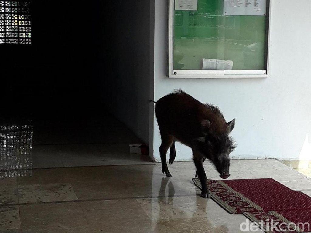 Babi Hutan Masuk Masjid, Ibu-ibu Pengajian Teriak dan Istigfar