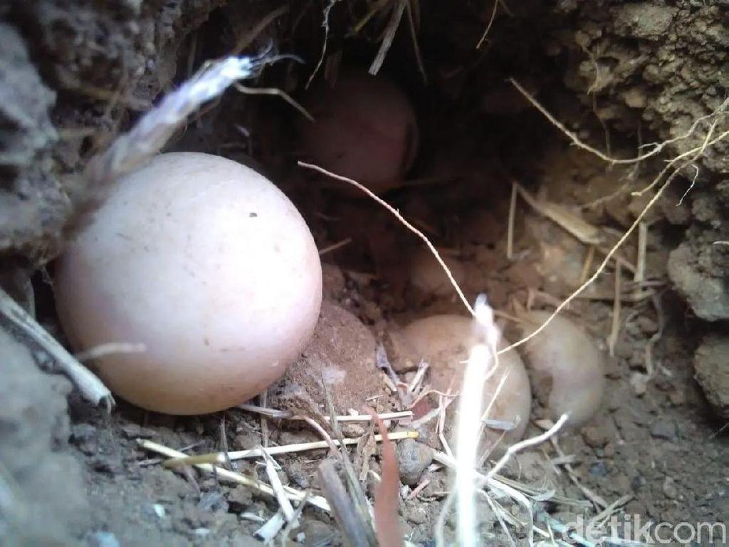 Populasi Bulus di Ponorogo Terus Turun Karena Telurnya Sering Dicuri