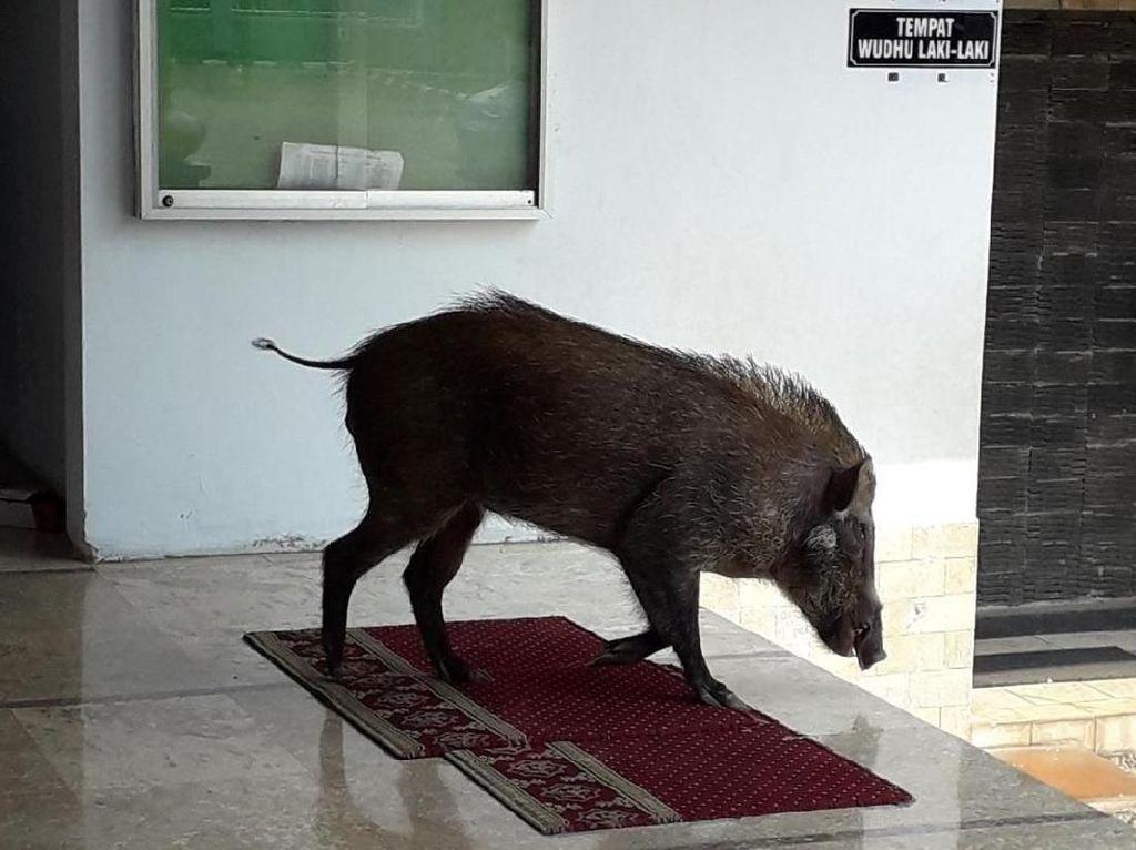 BKSDA Jelaskan Penyebab Babi Masuk Masjid di Serang yang Hebohkan Warga