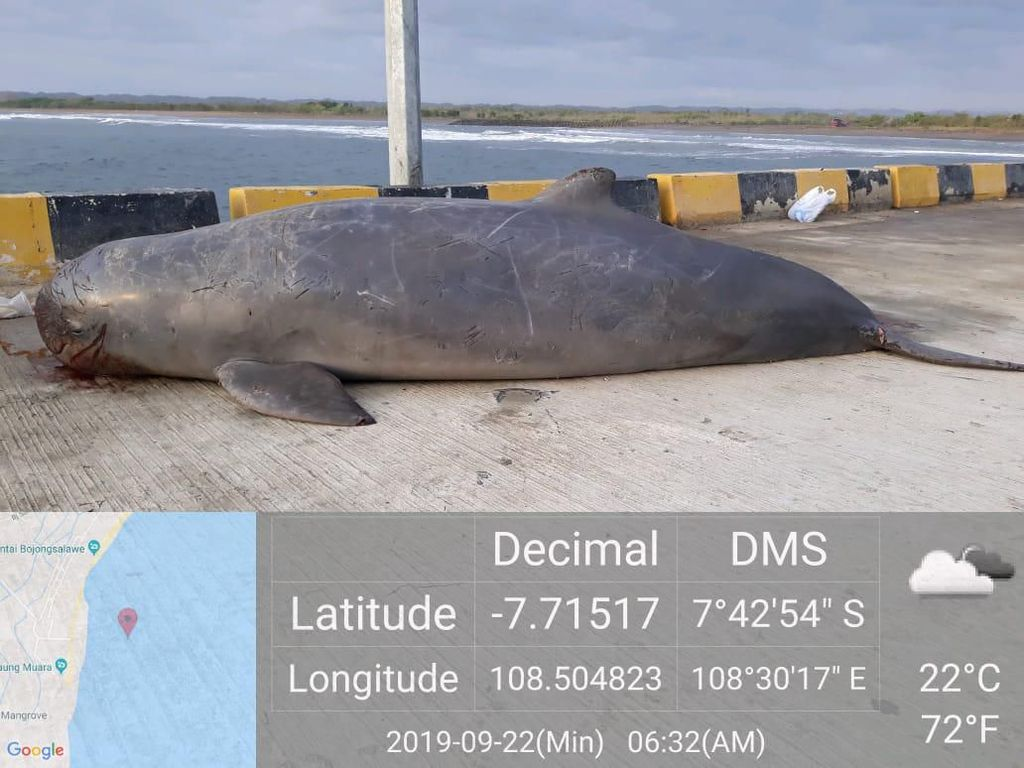 Kemarin Penyu, Kini Porpoise Mati Penuh Luka di Pangandaran