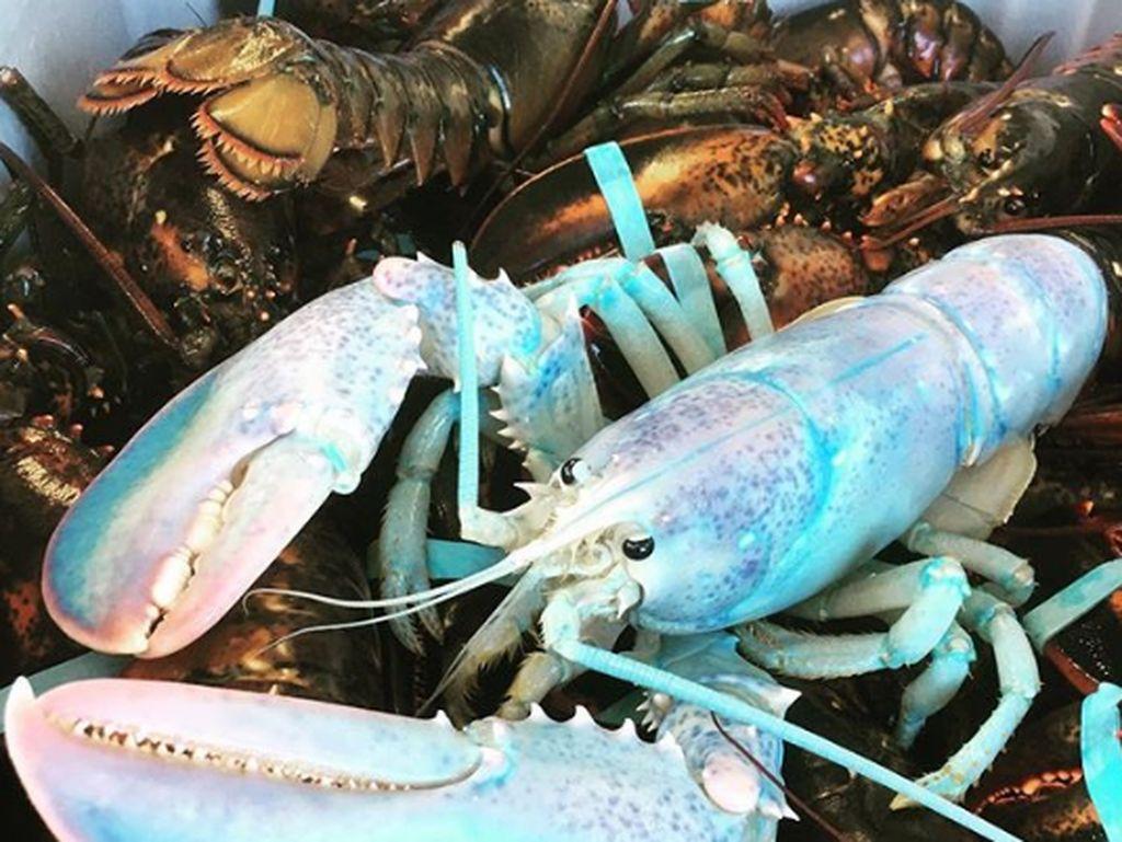 5 Lobster dengan Warna Cantik yang Unik dan Langka