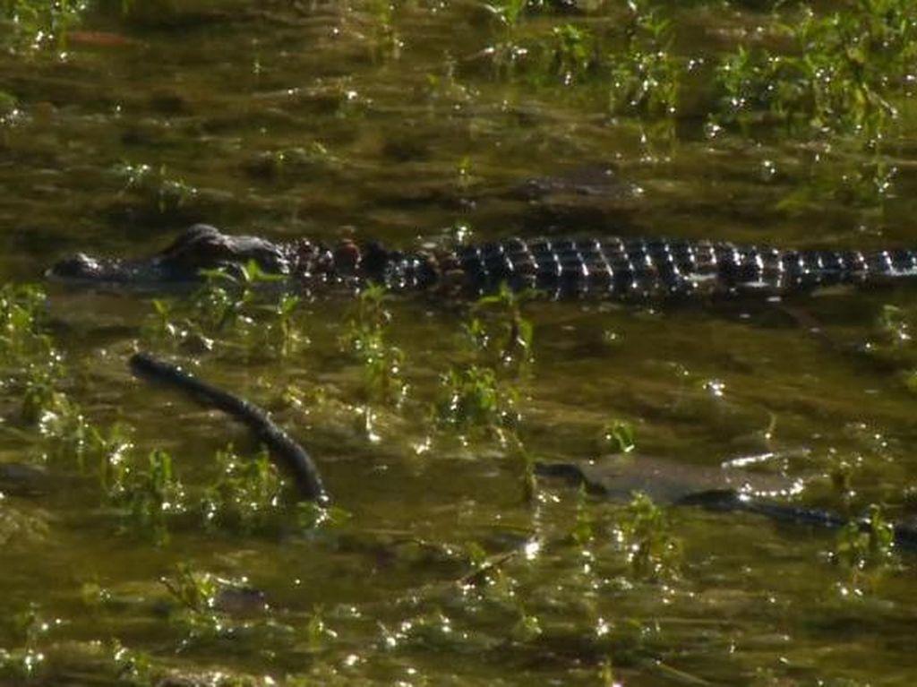 Ngeri! Aligator Ditemukan Hidup di Kolam Belakang Sekolah