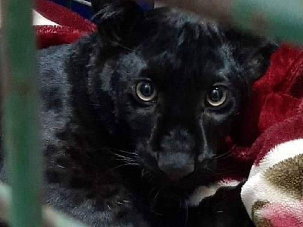 Seekor Black Panther Dicuri dari Kebun Binatang Prancis