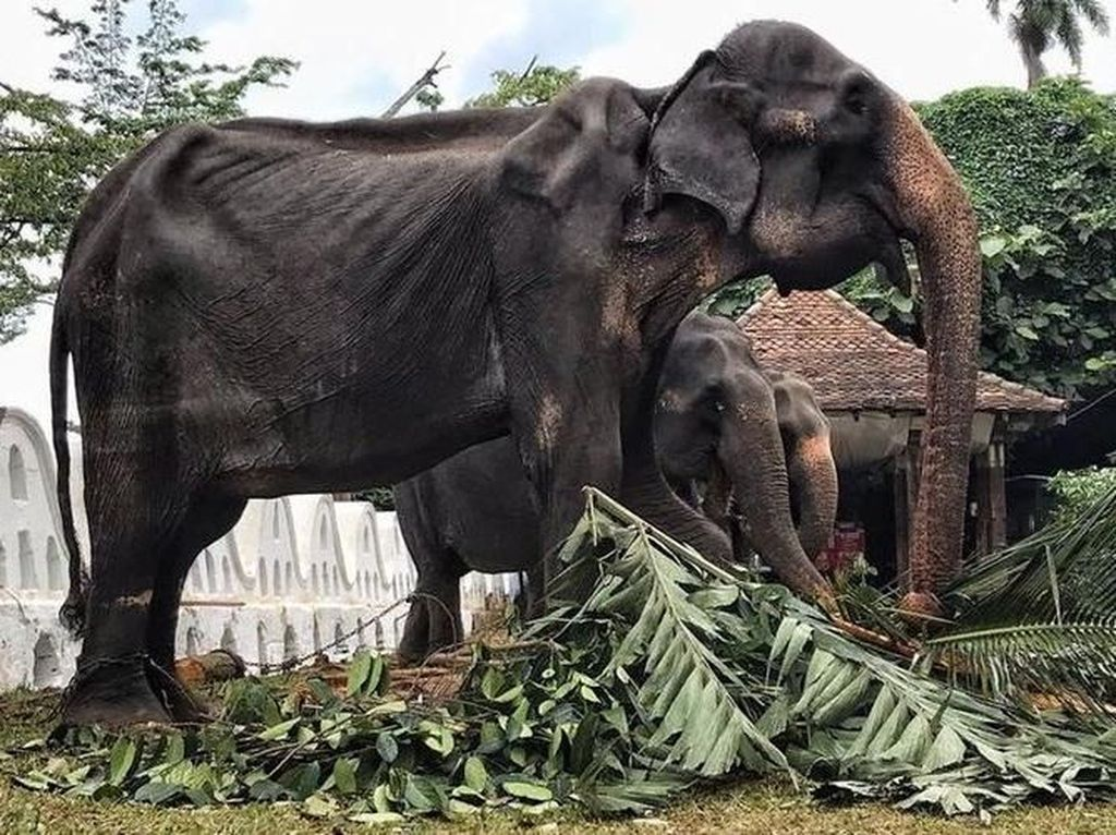 Sempat Hebohkan Media Sosial, Gajah Kurus Berumur 70 Tahun Akhirnya Mati