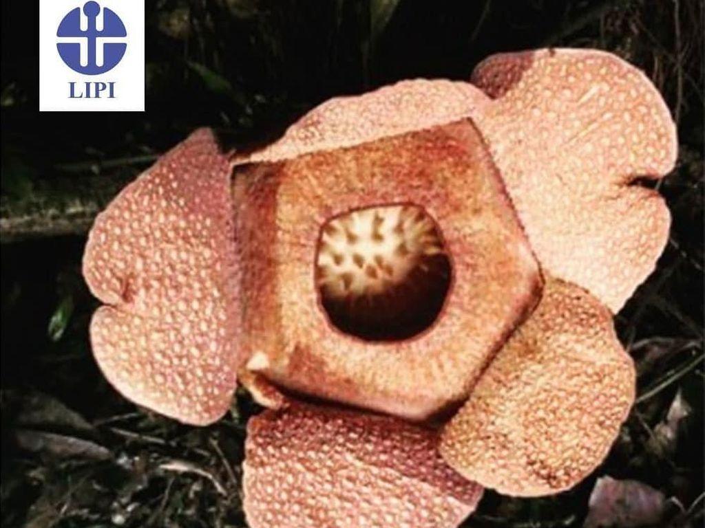 Bunga Rafflesia Mekar di Kebun Raya Bogor!