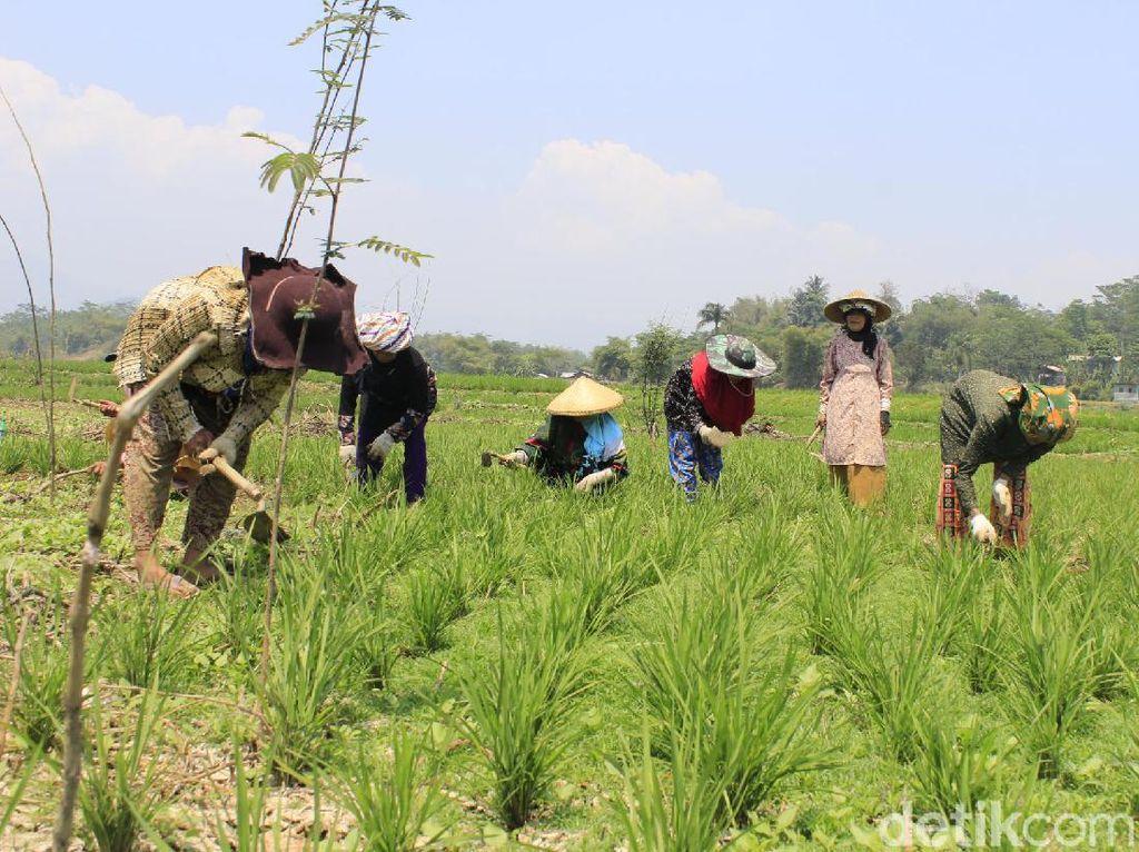 Kekeringan, Jokowi Pun Ditanam di Dasar Sungai Citarum