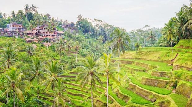 Panorama Bali terraced rice paddy with Tegalalang village on a hot Springtime day.