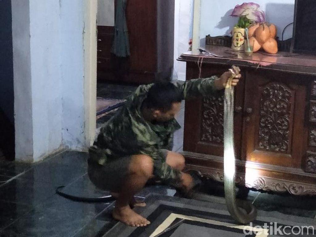 Ngeri! King Cobra Masuk Rumah Warga di Pandeglang