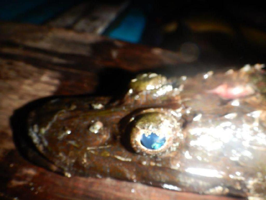 Penemuan Langka di Papua: Ikan Kepala Buaya