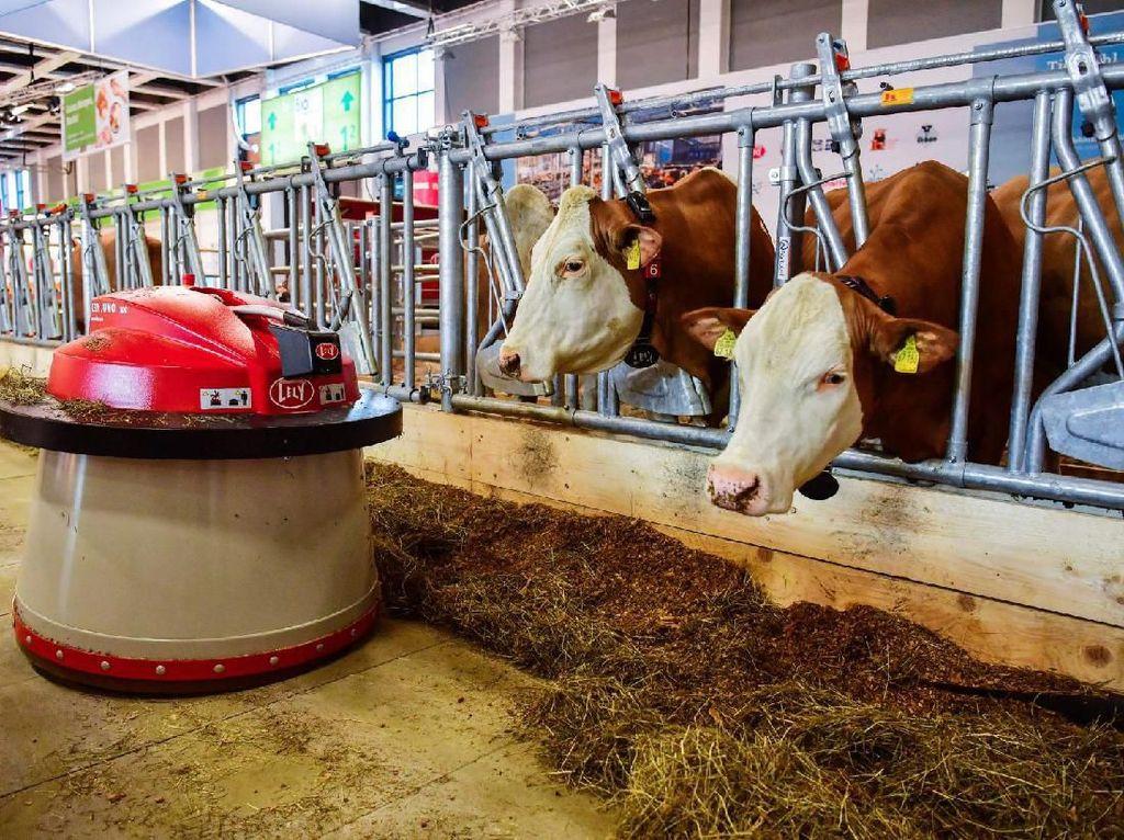 Di Peternakan Susu Sapi Ini Dipakai Cara Tradisional dan Canggih