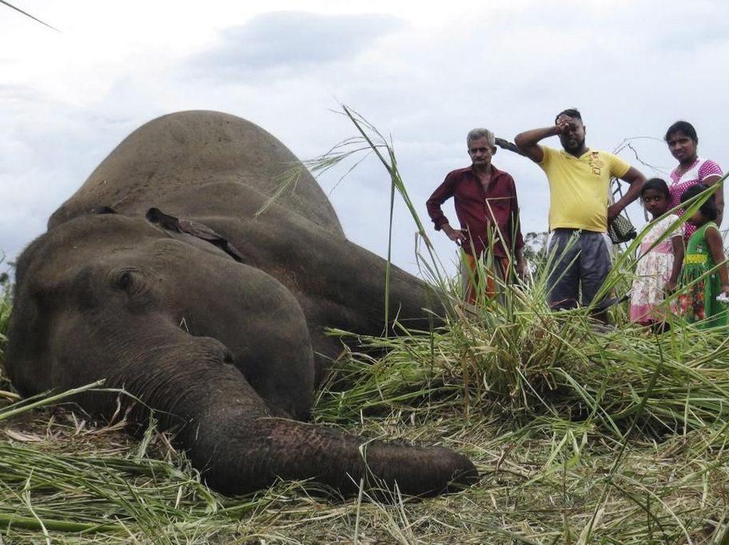 4 Gajah Ditemukan Mati di Sri Lanka, Diduga Diracun Warga
