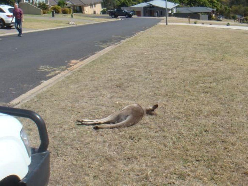 Sengaja Tabrak Mati 20 Kanguru, Pemuda Australia Ditangkap