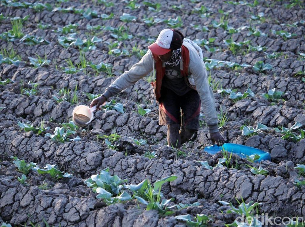 Kemarau Panjang, Petani Padi Beralih Tanam Kembang Kol