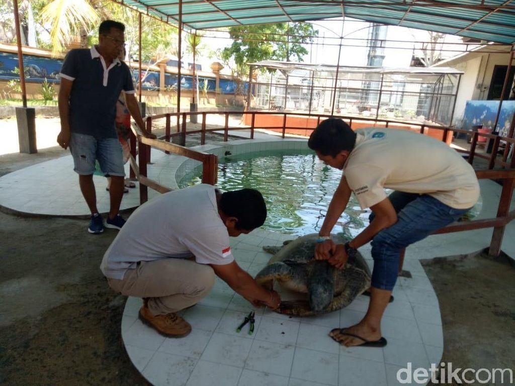 18 Penyu Korban Truk Kecelakaan di Legian Bali Dirawat di Penangkaran