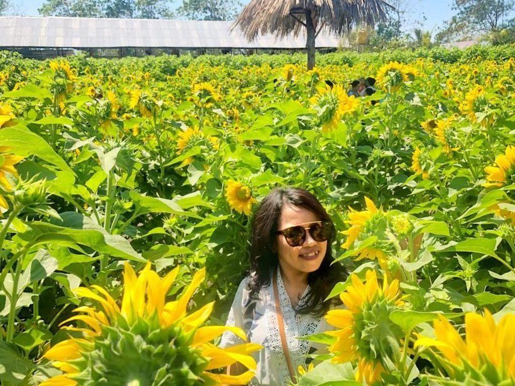 Cerah & Indah Taman Bunga Matahari di Kupang