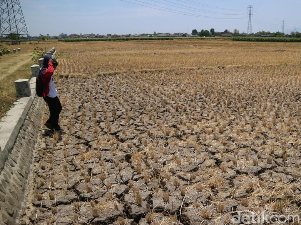 672 Hektar Lahan Padi di Ponorogo Puso