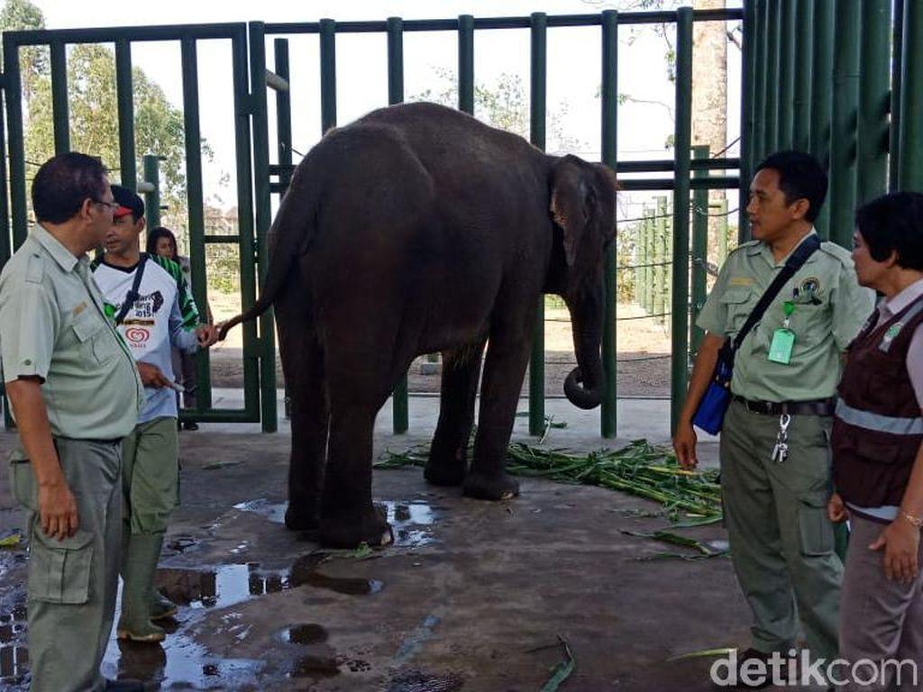 4 Ekor Gajah Indonesia Dipinjam Australia, untuk Apa?