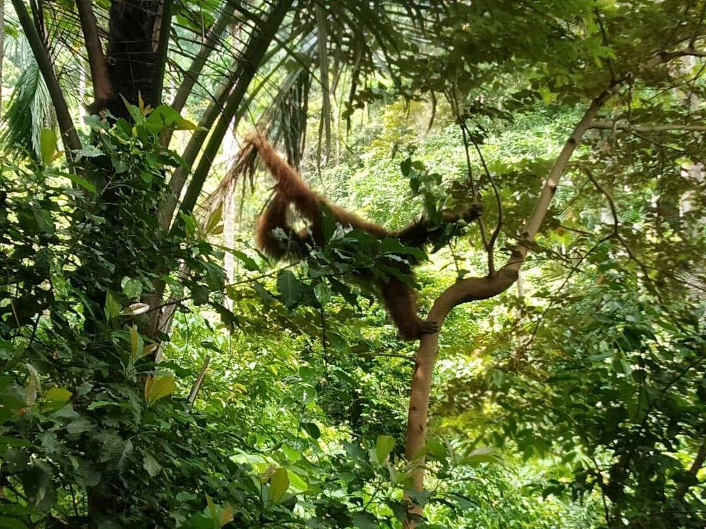 3 Kali Masuk ke Kebun Warga di Aceh, Orang Utan Dievakuasi