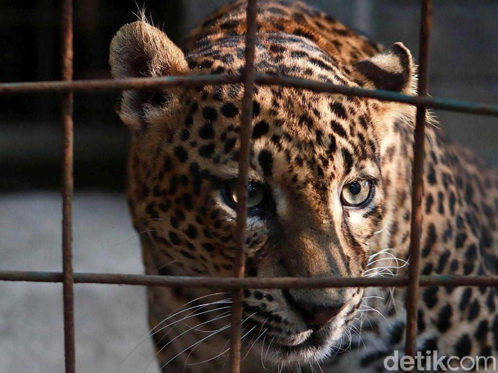 Kebun Binatang Bandung Dibuka, Pengunjung Dibatasi Hanya 30%