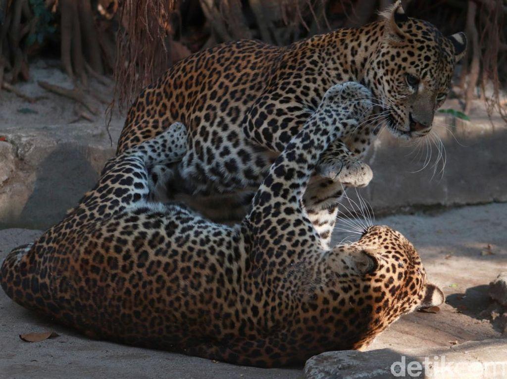 Melihat Pelstarian Macan Tutul Jawa di Kebun Binatang Bandung