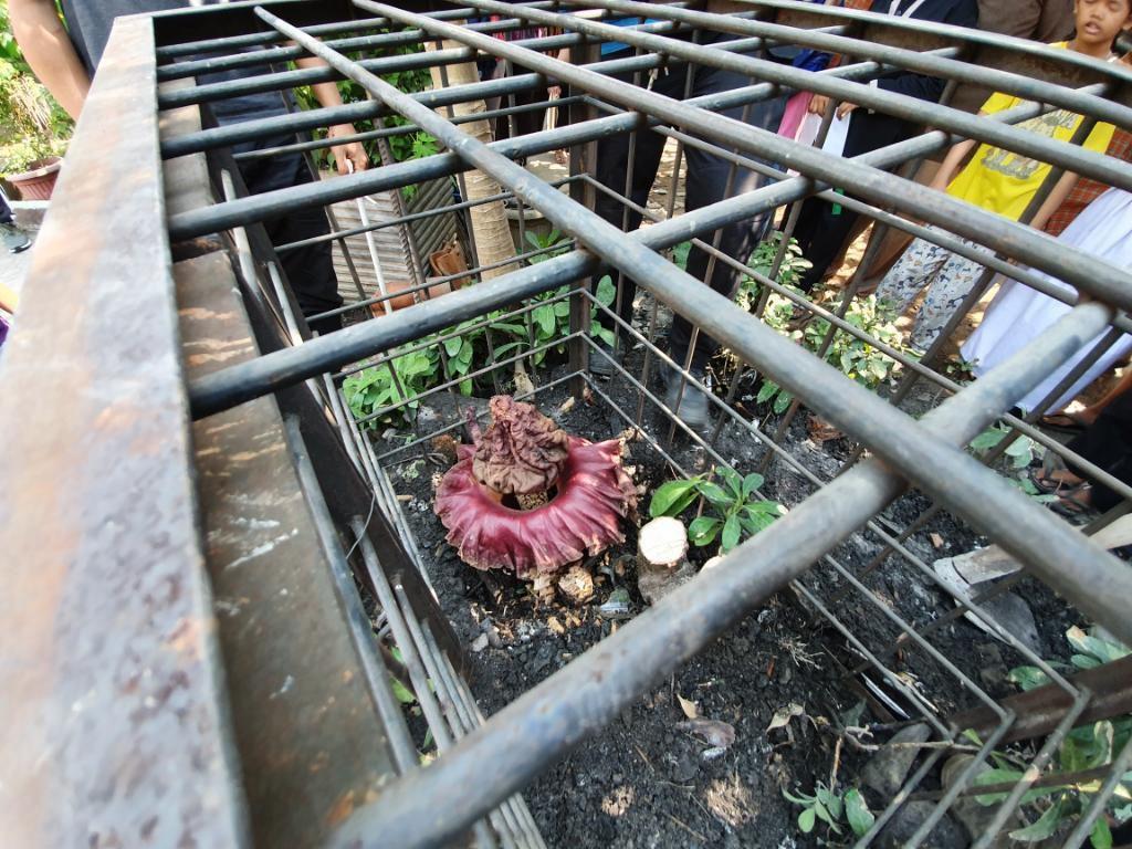 Tanaman Mirip Bunga Bangkai di SD Bekasi Diduga Amorphophallus Paeoniifolius
