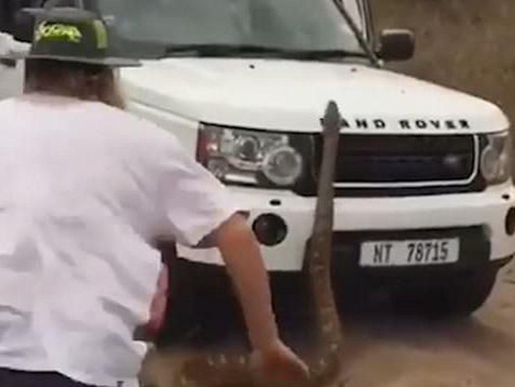 Lagi Safari, Turis Dikejar Ular Piton Sepanjang 5 Meter