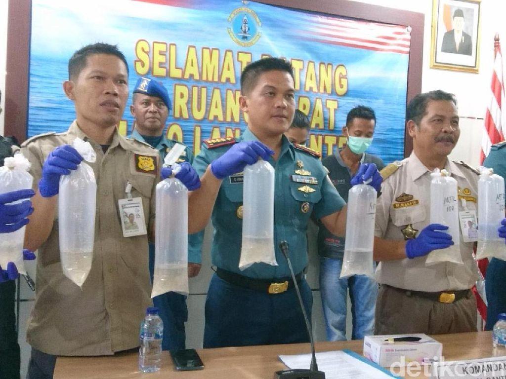 TNI AL Gagalkan Penyelundupan 118 Ribu Baby Lobster Rp 17,8 Miliar