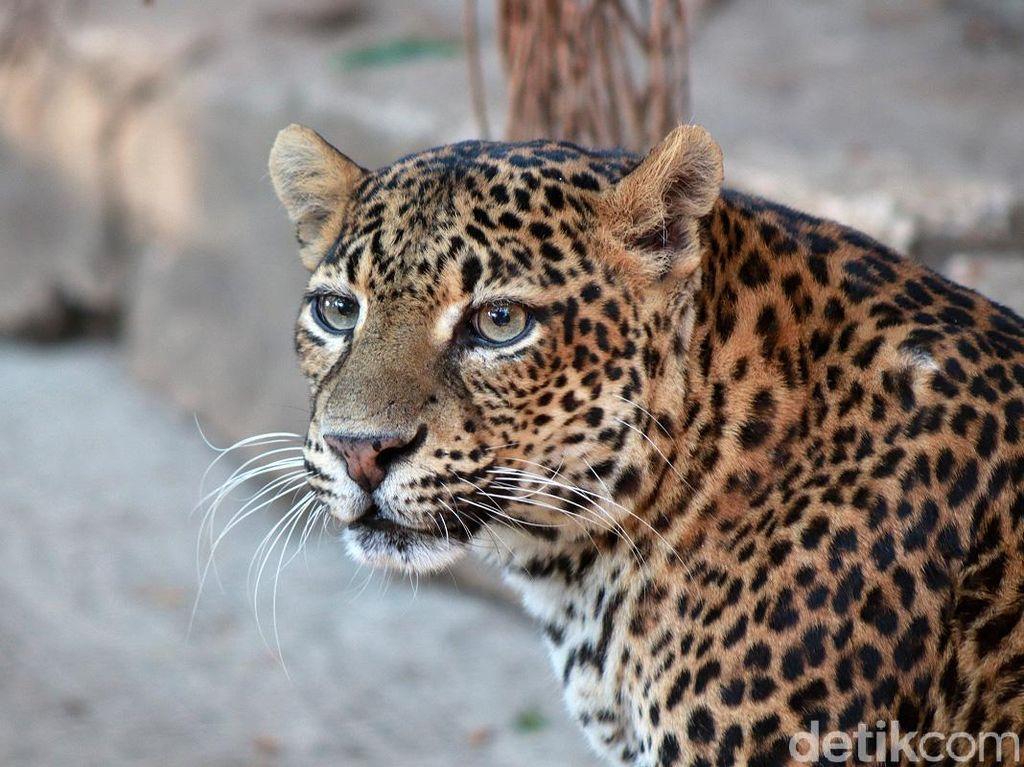 Melihat Macan Tutul Jawa yang Terancam Punah di Kebun Binatang Bandung