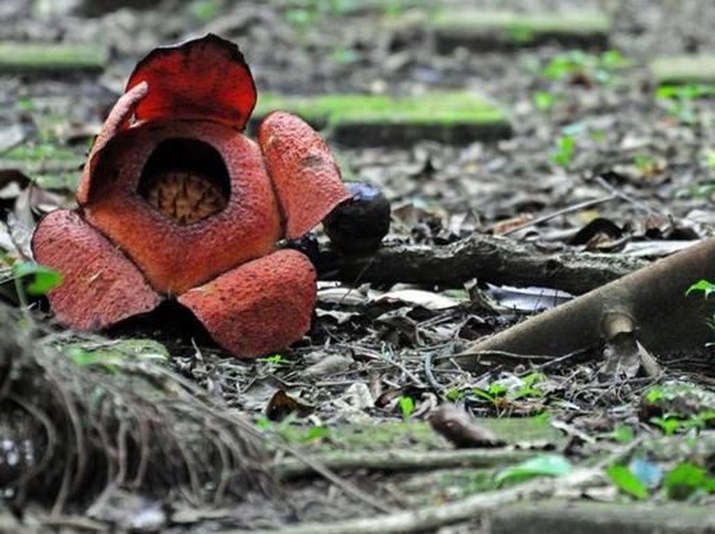 Yuk ke Kebun Raya Bogor, Bunga Rafflesia sedang Mekar