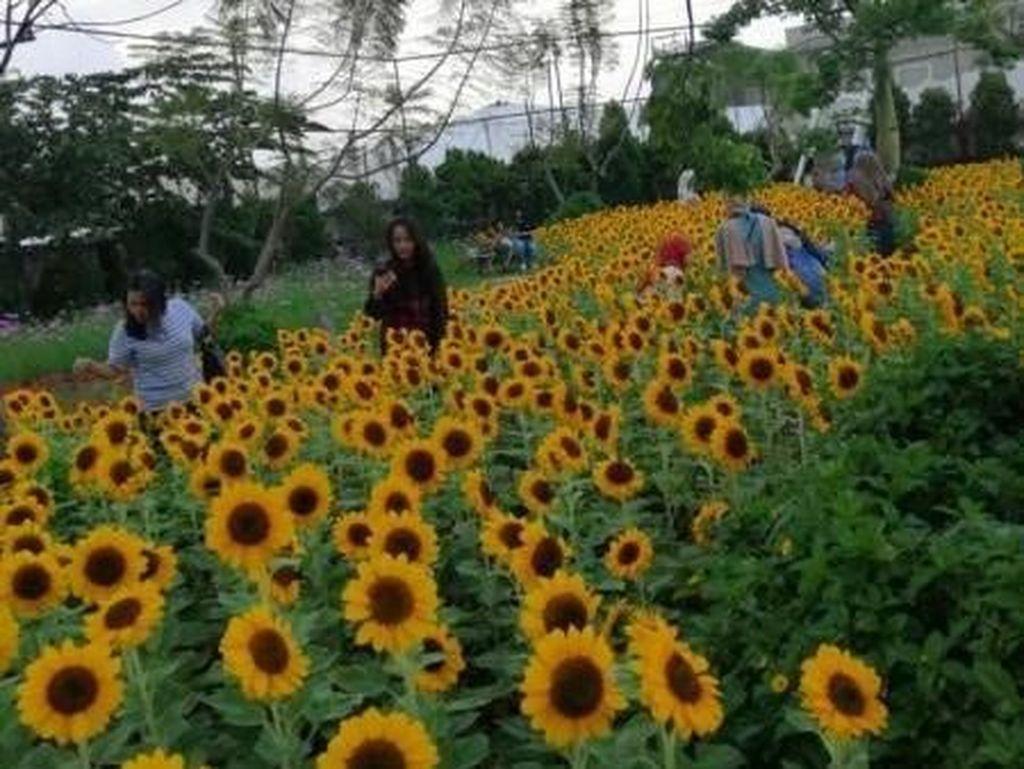 Bukan Changi, Ini Taman Bunga Matahari Bandung