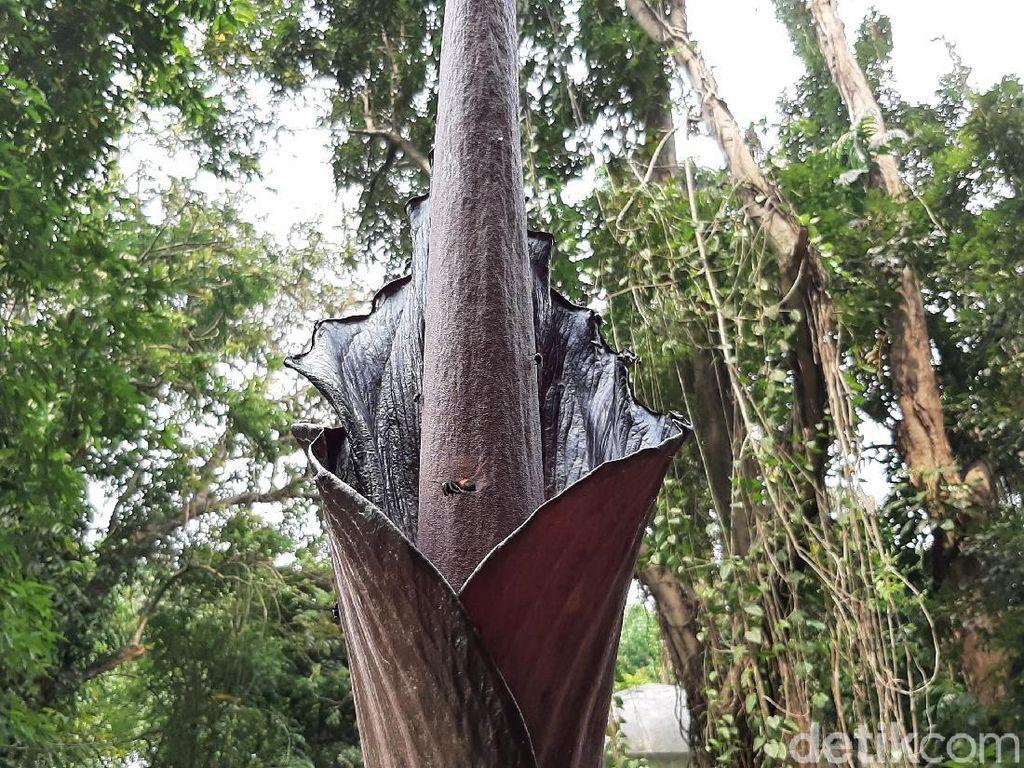 Bunga Bangkai Langka asal Padang Sedang Mekar di Kebun Raya Bogor