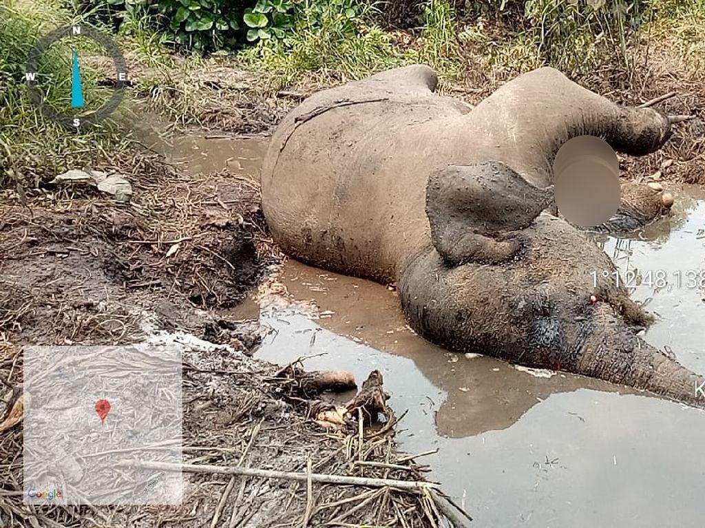 BBKSDA Riau Cek Penyebab Kematian Gajah Liar Bernama Dita