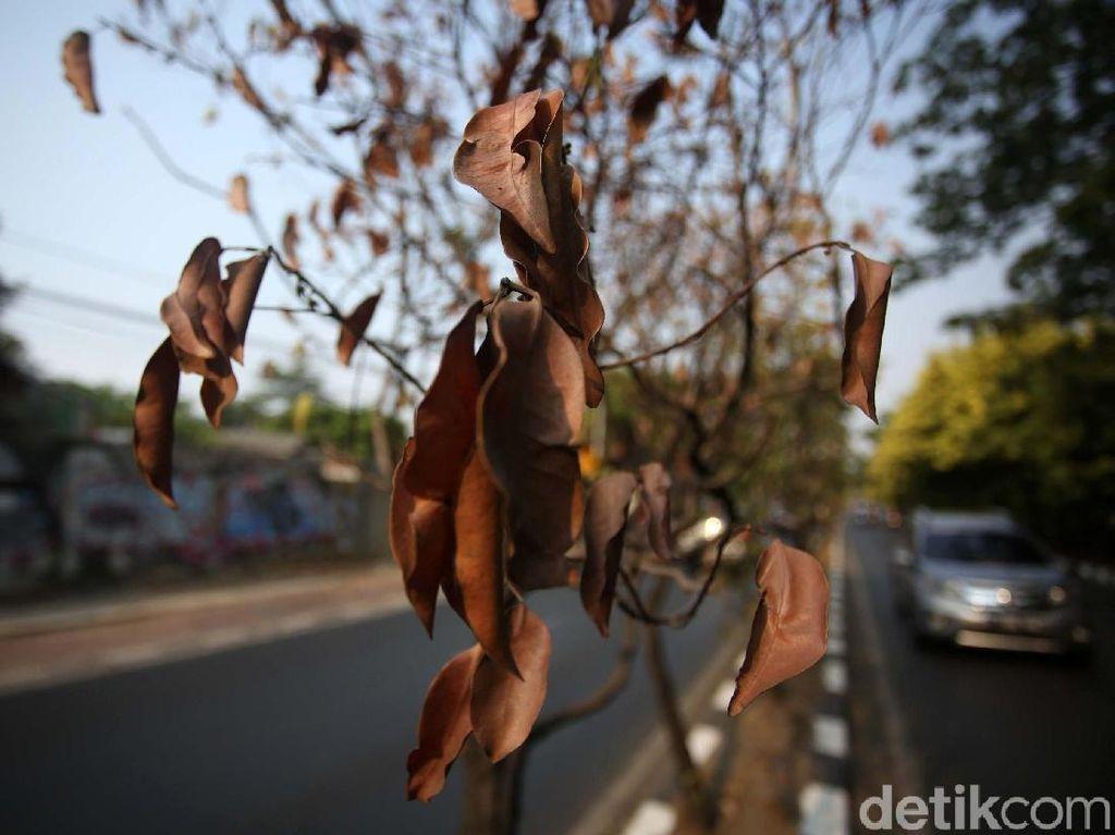 Kasihan! Pohon di Jalan Kolonel Sugiono Mengering